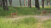 Two Fawns Roaming By The Water,