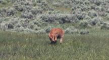 Baby Bison Grooming In Meadow