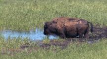 Buffalo Standing By The Water,