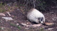 Hoary Marmot Looking For Food