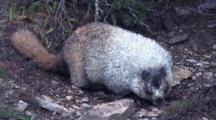 Hoary Marmot Feeding On The Ground