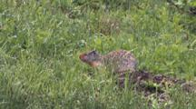 Columbian Ground Squirrel Browsing On Grass