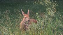 Deer Eating Grass