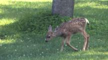 Grazing Fawn Stops To Scratch Ear