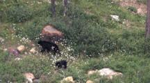 Black Bear And Two Cubs Roaming The Woods