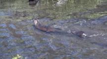 Mother And Baby River Otter Swiming And Playing In The River