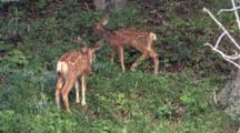 Two Fawns Eating Grass In The Woods