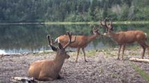 Small Herd Of Deers Resting By The Water.