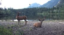 Two Deers Resting And Standing By The Water.