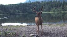 Deer Standing By The Water.