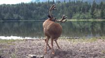 Deer Cleaning Himself  By The Water.