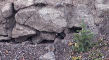 American Pika Runs Around On On The Rocks, Stops To Feed