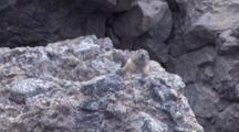 American Pika On The Rock Making Noise