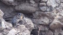 American Pika Running On The Rock Looking For Food