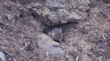 American Pika Emerges From Burrow