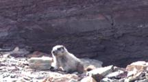 Hoary Marmot Playing On The Rock
