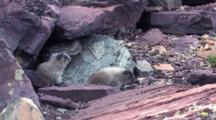 Two Hoary Marmots Playing On The Rock