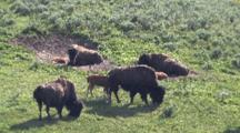 Herd Of Buffalos Roaming In The Meadows