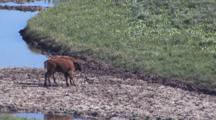Two Baby Bison Playing By The River