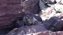 Hoary Marmot Mother And Baby Kissing