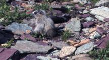 Baby Hoary Marmot Sitting Up Eating And Hold The Grass In His Hand