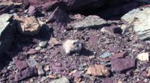 Baby Hoary Marmot Running Around And Digging Up The Ground