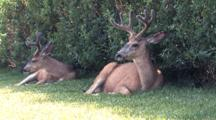 Two Deers Resting On The Grass