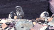 Three Baby Marmots Playing And Kissing