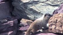 Baby Marmot Sitting On The Rock