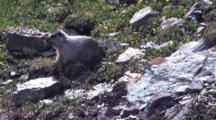 Baby Marmot Picking Up Grass To Build The Nest