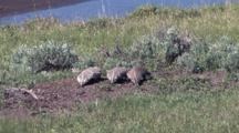 Three American Badger Running And Looking For Food On The Ground