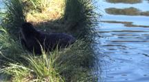 Mother Otter Plays With Baby In The Grass By The River
