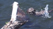 Mother And Baby Otters Playing And Swimming