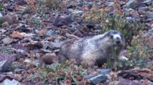 Hoary Marmot Browses On Rocky Ground
