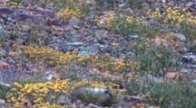 Hoary Marmot Browses Among Flowers On Rocky Ground