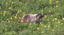 Hoary Marmot Browses Among Flowers