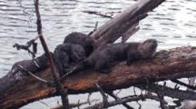 Family Of Otter On Driftwood.