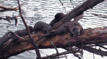 Family Of Otter On The Driftwood.
