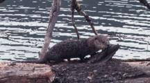 Otter On The Driftwood.