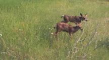 Two Fawns Eating Grass