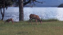 Mother Deer And Fawn Eating Grass By The Water