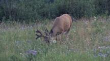 Deer Grazes By The Water