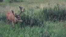 Deer Grazes In Meadow