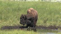 Bison At Waterhole Drinking And Shaking His Head