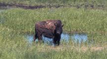 Buffalo Near Watering Hole
