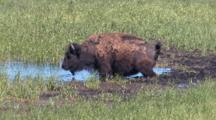 Buffalo In The Water Urinating