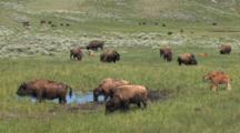 Herd Of Buffalos Roaming The Meadows