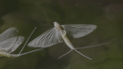 Mayflies swarming and mating surface of the water, close-up