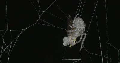 Spider on the Danube bridge