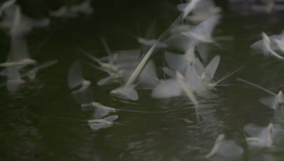 Swarming mayflies on the water surface, SLOW MOTION